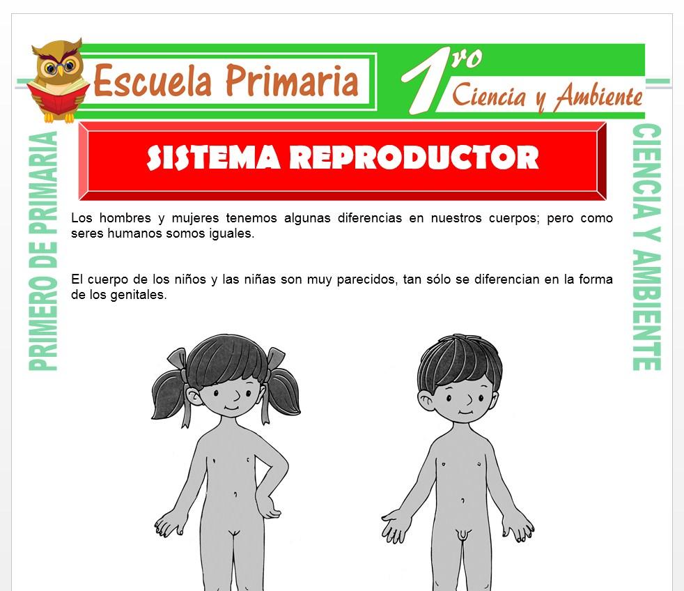 Ficha de Sistema Reproductor para Primero de Primaria