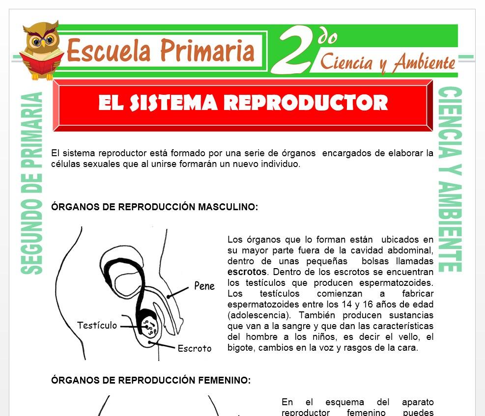 Ficha de Aparato Reproductor para Segundo de Primaria