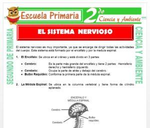 Ficha de Sistema Nervioso para Segundo de Primaria