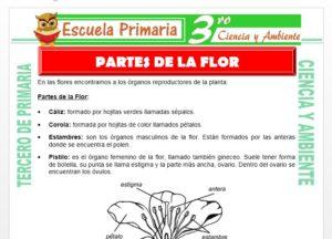 Ficha de Partes de la Flor para Tercero de Primaria