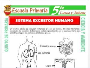 Modelo de la Ficha de Sistema Excretor Humano para Quinto de Primaria